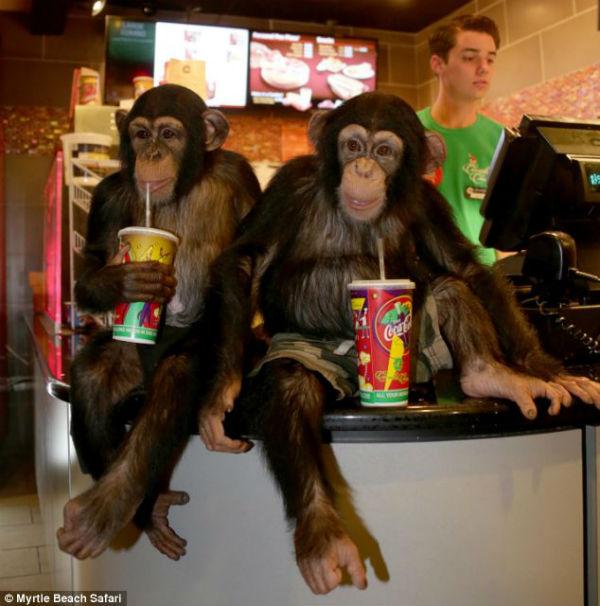 """Dois chimpanzés assistem ao filme """"O Planeta dos Macacos: o Confronto"""""""