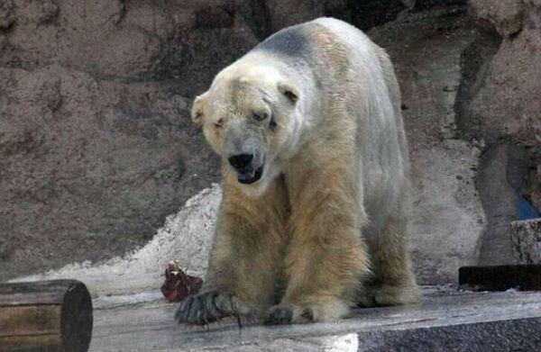 O Urso mais triste do Mundo?